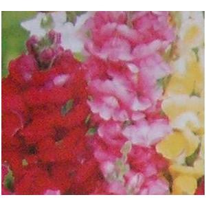 http://www.oleander.pl/881-1965-thickbox/lwia-paszcza-wysoka-nasiona.jpg
