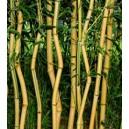 Bambus (Phyllostachys Aureosulcata Spectabilis) sadzonki