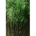 Bambus Ogrodowy (Fargesia Muriale) sadzonki
