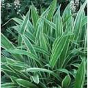 """Turzyca Rzędowa Pstra (Carex Siderosticha """"Variegata"""") sadzonki"""