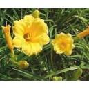 """Liliowiec żółty Kwiat (Hemerocallis """"Stella De Oro"""") sadzonki"""