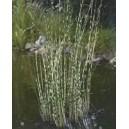 "Oczeret Tabernamomtana Paskowany (Scirpus Tabernaemontanii ""Zebrinus"") sadzonki"
