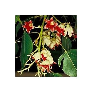 Stulecian topololistny (Brachychiton Populneus) nasiona 5 szt