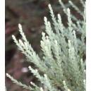Mamutowiec (Sequoiadendron Giganteum) sadzonki
