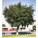 Dąb Korkowy (Quercus Suber) 2 letnie sadzonki