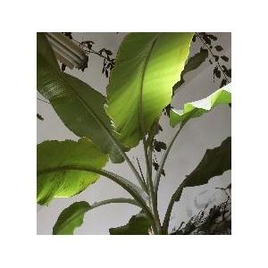 Banan śnieżny (Musa, ensete glaucum)  sadzonki