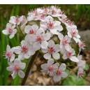 Tarczownica Tarczowata (Darmera Peltata) sadzonki