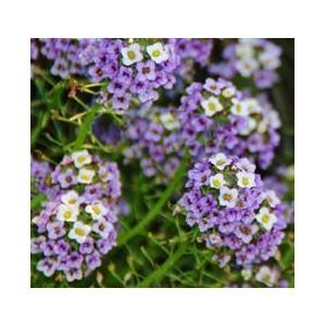 http://www.oleander.pl/936-2008-thickbox/smagliczka-nadmorska-fioletowa-nasiona.jpg