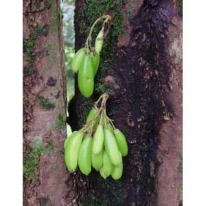 Bilimbi Owocujące (Averrhoa Bilimbi) 2 nasiona
