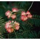 Albicja Jedwabista, Chińskie Drzewko Szczęścia (Albizia Jullibrissin) sadzonki