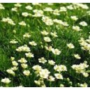 Karmnik Ościsty (Sagina Subulata) nasiona