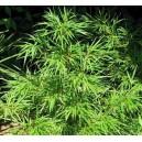 Bambus Ozdobny Ogrodowy (Qiongzhuea Tumidinoda) Sadzonki
