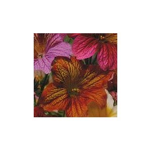 http://www.oleander.pl/961-2029-thickbox/tujalka-zmienna-salpiglossis-sinuata-nasiona.jpg