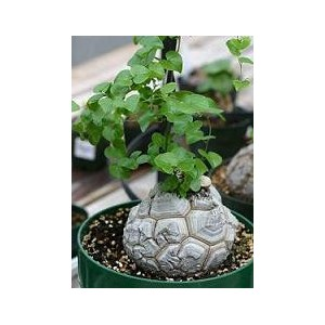 Roślina żółw (Dioscorea Elephantipes) nasiona