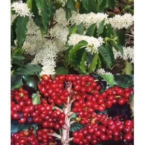 Kawa Arabska, Drzewko Kawowe (Coffea Arabica) roczne sadzonki