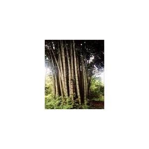 Bambus Olbrzymi (Dendrocalamus Giganteus) nasiona 5 szt