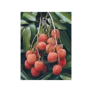 http://www.oleander.pl/971-1909-thickbox/liczi-litchi-sinensis-sadzonki.jpg