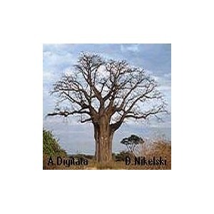 Baobab (Adansonia Digitata) 2 nasiona