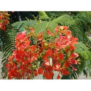 Płomień Afryki (Delonix Regia) Roczne sadzonki