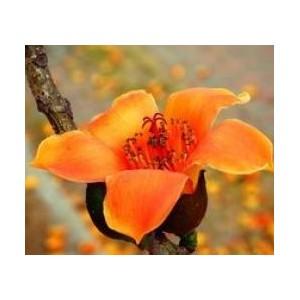 Drzewo Bawełniane (Ceiba Pentantra) 3nasiona