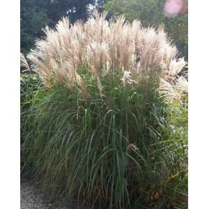 Miskant Cukrowy (Miscanthus Sacchariflorus) nasiona 20 szt