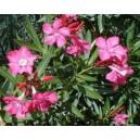 Oleander (Nerium Oleander) Sadzonki