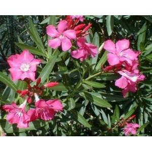 Oleander różowy (Nerium Oleander) Sadzonki