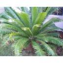Dioon Spinulosum nasiona