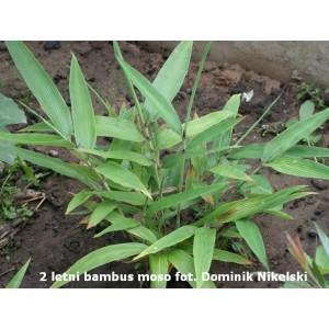 Bambus mrozoodporny (Moso) 200 nasion w cenie 120!