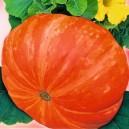 Dynia olbrzymia pomarańczowa Golias (Cucurbita Maxima) nasiona