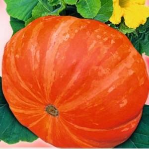 Dynia Golias olbrzymia pomarańczowa (Cucurbita Maxima) nasiona