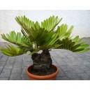 Zamia (Zamia Furfuraceae) nasiona
