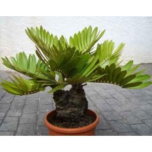 Zamia (Zamia Furfuraceae) sadzonki