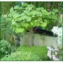 Miłorząb Dwuklapowy (Ginkgo Biloba) 1 roczne sadzonki