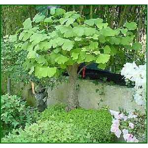 Miłorząb Dwuklapowy (Ginkgo Biloba) 3 letnie sadzonki
