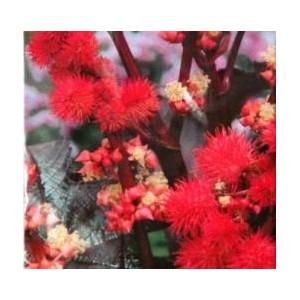 Rącznik pospolity (Ricinus Communis) nasiona