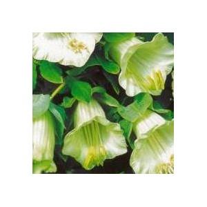Kobea pnąca biała (Cobea scandens) nasiona
