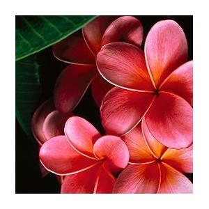 Plumeria (Plumeria rubra) 1 nasiono