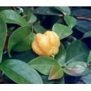 Goździkowiec (Eugenia Uniflora) nasiona
