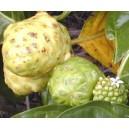 Noni - morwa indyjska (morinda citrifolia) 3 nasiona