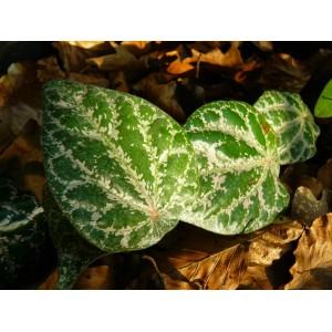 Pieprz pstry (Pipper ornatum) sadzonki