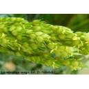 Sorgo, (Sorghum Moench) 3 nasiona