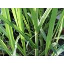 Trzcina cukrowa - cukrowiec lekarski (Saccharum officinarum) sadzonki