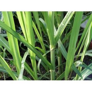 Trzcina cukrowa - cukrowiec lekarski (Saccharum officinarum) 1 sadzonka