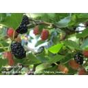 Morwa czarna (morus nigra) 5 nasion
