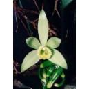 Wanilia (Vanilla Planifolia) sadzonki