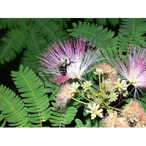 Albicja jedwabista piękny krzew szczęścia (Albizia Jullibrissin) 5000 nasion !!!