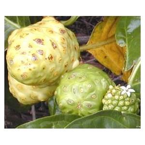 Noni - morwa indyjska (morinda citrifolia) sadzonka tegoroczna
