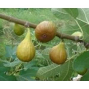 Przeciwkaszlowa  Figa ogrodowa (Ficus carica