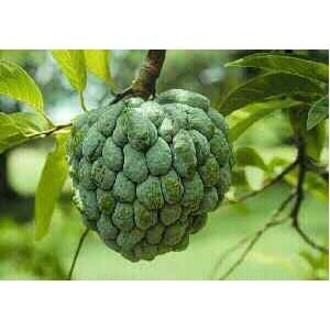 Jabłko Cukrowe (Annona squamosa) 1 nasiono
